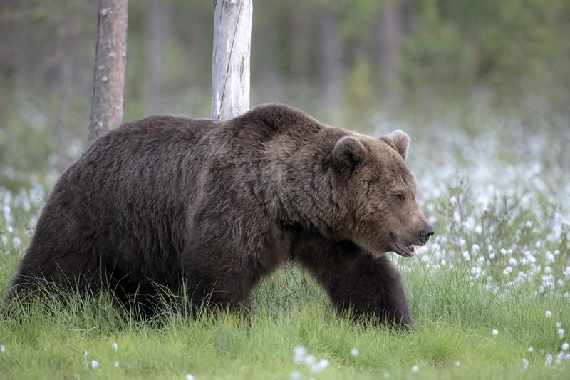 Karhunpyynti alkaa 20. elokuuta. Metsästäjien tavoitteena on kaataa alueelta iso uroskarhu.
