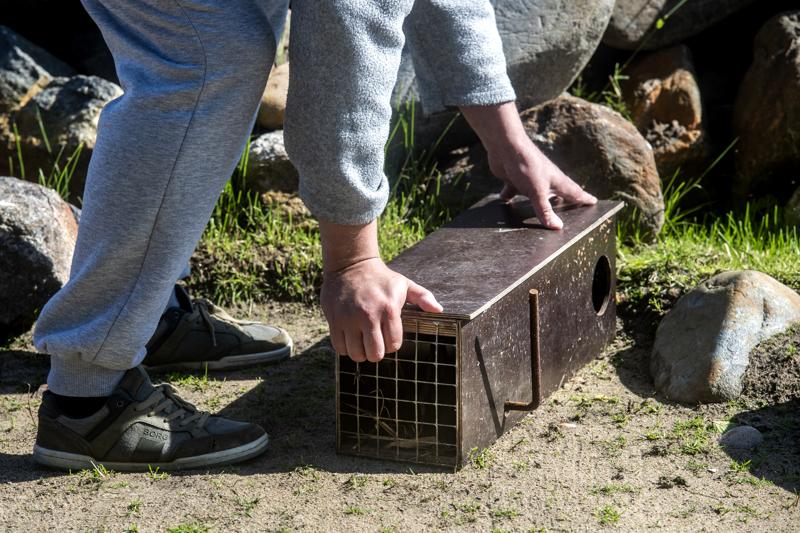 Kokkolassa loukuttaminen tapahtuu heti tappavilla loukuilla, jotka eivät ole vaaraksi muille eläimille. Loukussa on noin 70 millimetrin kokoinen pyöreä aukko, josta vain minkki mahtuu sisälle.