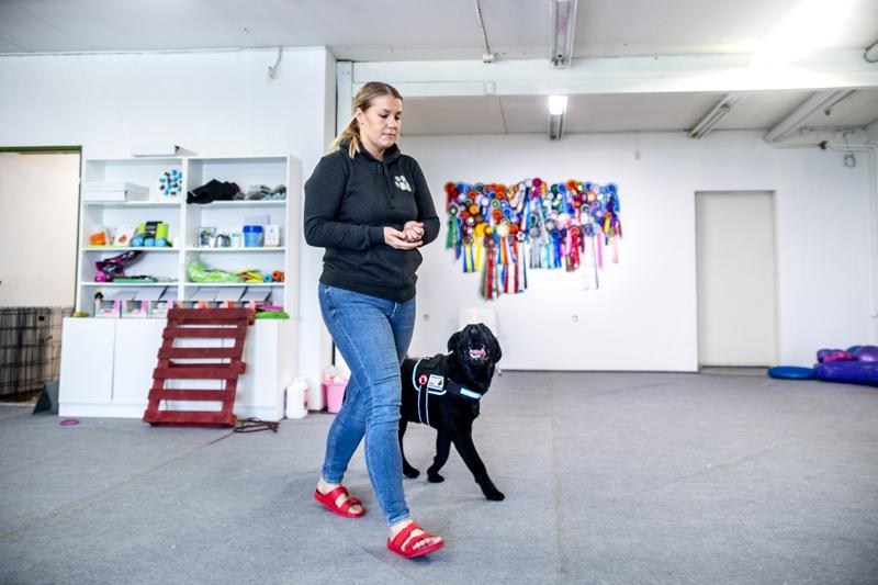 Avustajakoirakoulutuksessa koulutuksen sisältö riippuu täysin siitä, millaisissa tehtävissä koiran toivotaan omistajaansa auttavan.