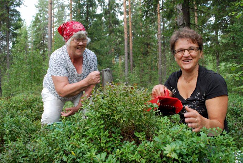 Liisa Viitanen ja Eila Pitkälä olivat päässeet lempiharrastuksensa pariin, mustikkaan. Hyvä marjavainu kuljetti naisia oikeille mättäille olipa satovuosi millainen hyvänsä.