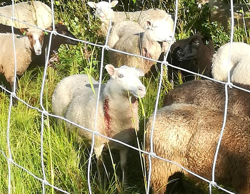 Huomattavasti tätäkin rumempaa jälkeä oli tehty Leton lammasaitauksessa loppuviikon ja viikonlopun aikana.