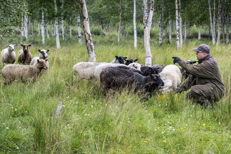 Alavieskalaisen Lasse Heikkilän tilan lampaat ovat tuttu näky Kalajoen Letolla liikkuville reippailijoille. Lampaat laidunsivat alueella, jonka lähellä on luontopolku ja mökkiasutusta.