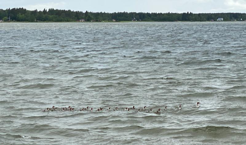 Emorsorsalla on aika monta poikasta Keskuskarin vesillä.