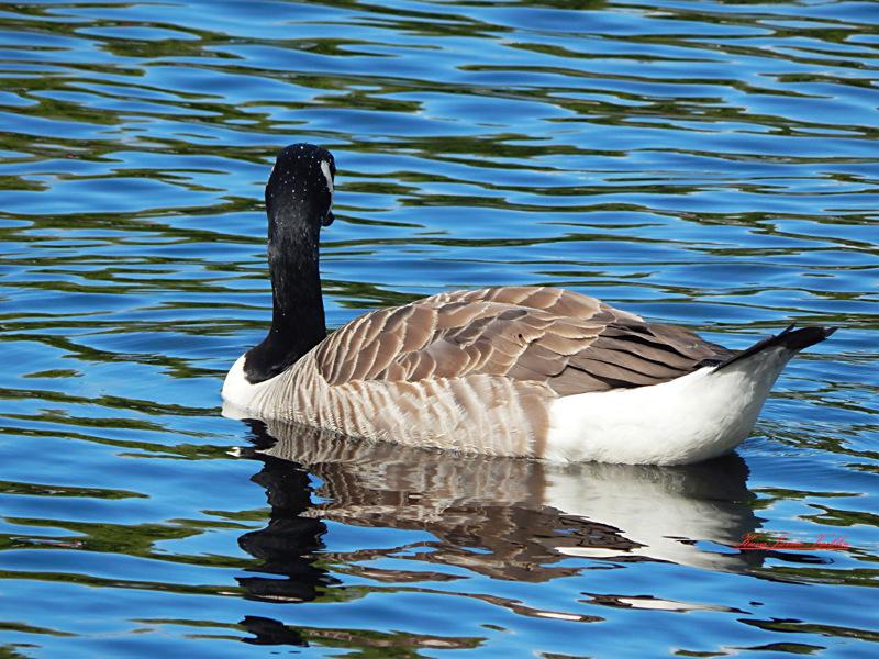 Kanadanhanhikanta on kasvanut Suomessa 1960-luvun muutamista yksilöistä jo tuhansiin lintuihin, ja kasvu näyttää yhä jatkuvan.