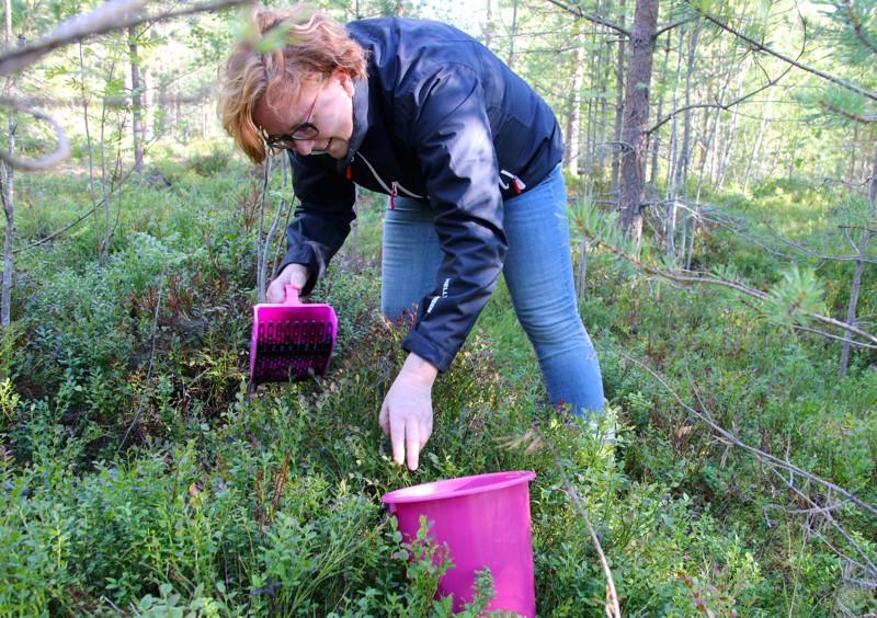 Eija Ahokangas noukkii metsän antimia talteen mielellään. Silloin tällöin myös koko perhe osallistuu noukintatalkoisiin.