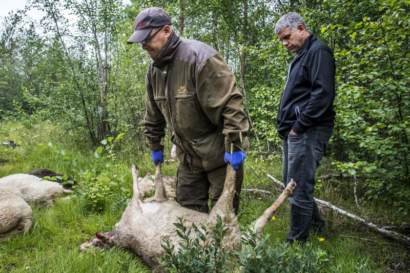 Kalajokinen lampuri Lasse Heikkilä menetti susille ison osan laumastaan. Mika Ängeslevän mukaan uusia havaintoja sudesta ei ole saatu.