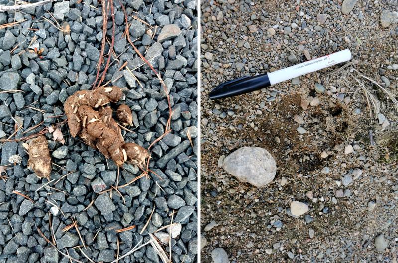 Viimeisimmät havainnot sudesta on tehty viime sunnuntaina yhdellä Teerijärven turkistarhoista. Tunnistettujen jälkien lisäksi paikalta on löydetti suden ulostetta.