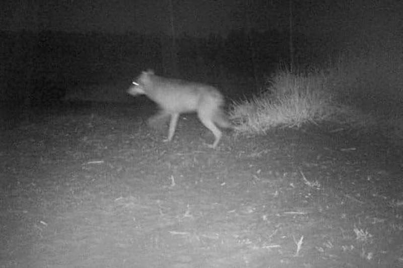 Tämä susi jolkotteli riistakameraan 5. syyskuuta keskellä yötä.
