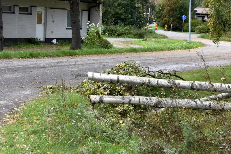 Lestijoki ja Keskipohjanmaa myöhässä. Kaatunut puu Kannuksen Museokankaalla aiheutti aamulla päänvaivaa KP Jakeluun.