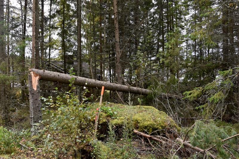 Kaatunut puu Himangan Ruonalla.