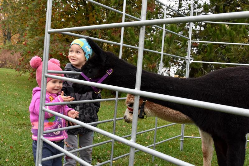 Alpakat kiinnostivat. Neela ja Noel Kansanoja ruokkivat alpakoita.