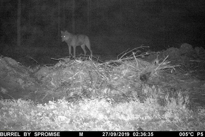 Tämä susi tallentui riistakameraan Ullavassa syyskuun 2019 lopussa.
