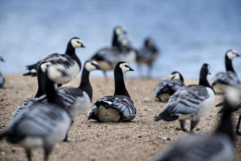 Nämä valkoposkihanhet tepastelevat Suntinsuulla Kokkolassa. Haapajärvellä pelloilla on nähty ennennäkemättömän suuria parvia kanadan- ja valkoposkihanhia.