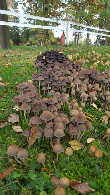 Syksyn sieniä nurmikolla.