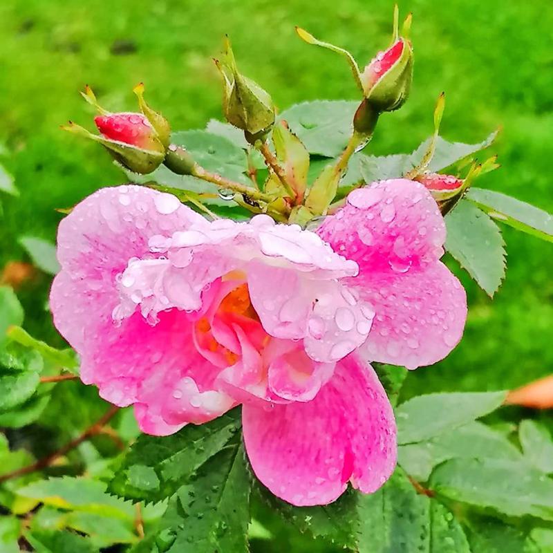 Vielä ruusu kukkii.