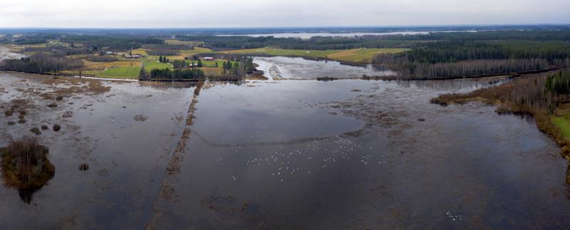 Ilmakuvassa näkyy pieni osa Haapajärvellä levähtävistä joutsenista. Rehevöityneen järven läpi virtaa Perhonjoki ja ilmakuvassa taustalla näkyy myös Räyringinjärvi.