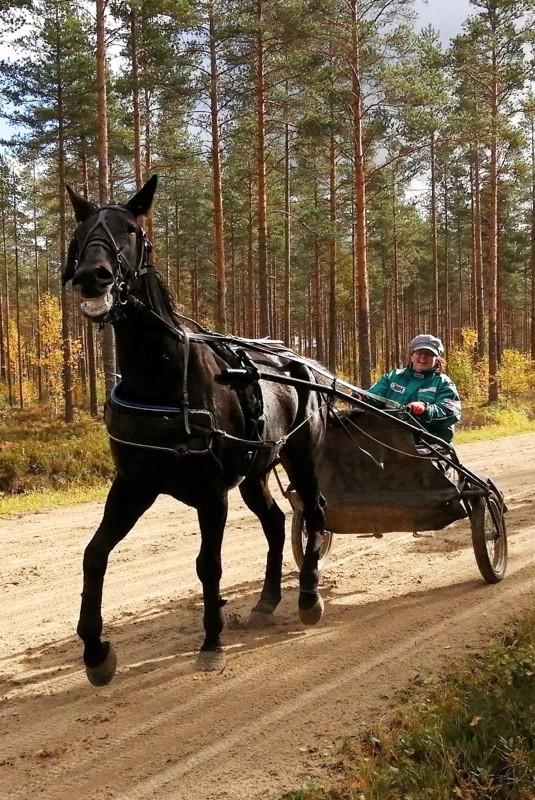 Langen's Hound Dog toi Henna Huttuselle hänen hevosenomistajahistoriansa ensimmäisen voiton. Arkistokuvassa Hennan ohjastaman Langen's Hound Dogin vauhdikasta menoa harjoituslenkillä.