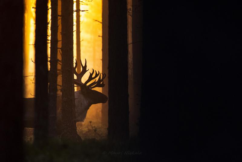 Mauri Niskalan valokuva menestyi Vuoden luontokuva -kilpailussa.