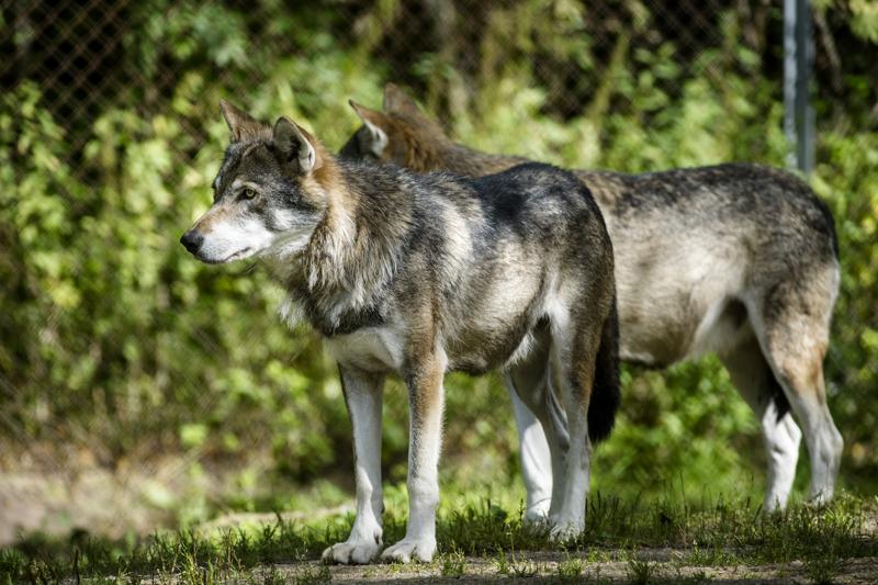 Metsästäjäliitto tyrmistyi. Luonnonvarakeskus ilmoitti, ettei susia pannoiteta kevättalvella 2021. Kuvan sudet on kuvattu Ähtärin eläinpuistossa.