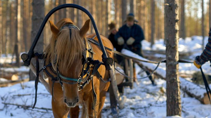 Hotlerin työskentelyä kuvattiin halsualaisessa tukkimetässä viime talvena. Entisaikojen metsätöistä kertova dokumenttielokuva julkaistaan tämän kevään aikana.