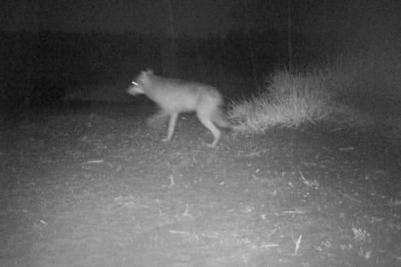 Tämä susi tallentui riistakameraan syyskuussa Kalajoella.