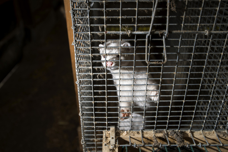 Parisataa minkkiä ja parisataa suomensupia on saanut koronavirusrokotteen Kannuksen koetarhalla. Nyt seurataan, miten rokote tehoaa.