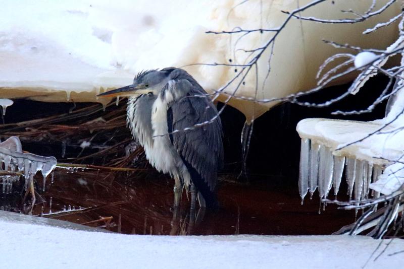 Ylivieskan keskustassa Kalajoen sulassa paikassa värjötellyt harmaahaikara sai viikonloppuna paljon seuraajia.