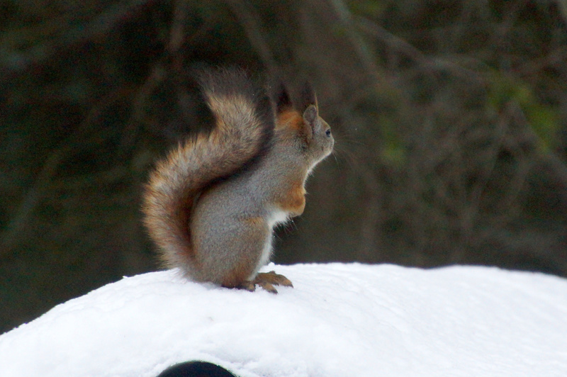 Olli orava.