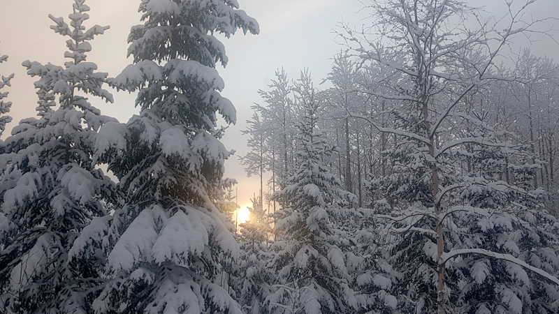 Aurinko nousee lumisten puiden välistä.