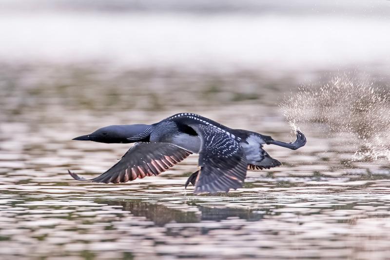 Lentoon päästäkseen kuikka tarvitsee 50-200 metriä vapaata vesialuetta.