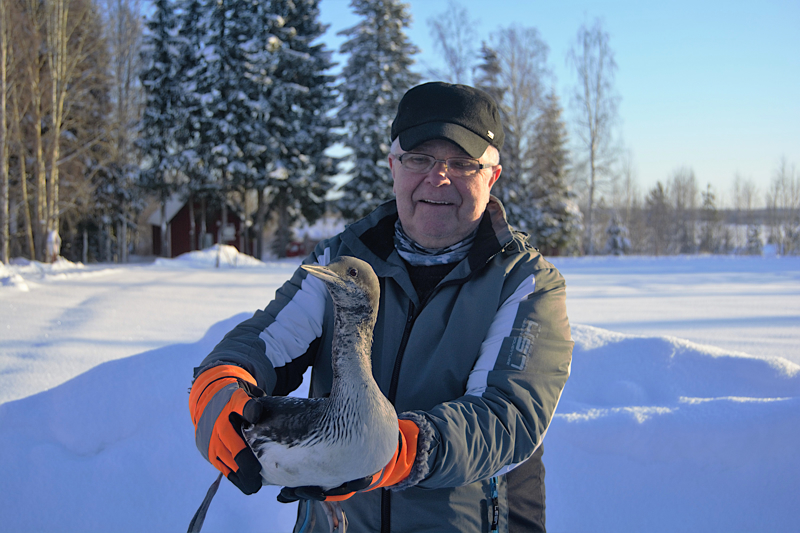 Reijo Jussilaisen hoitama kuikka pääsee pian vapauteen.