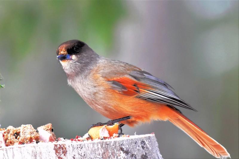 Kuukkeli aiheutti väentungosta ruokinnalla, hieno lintu.