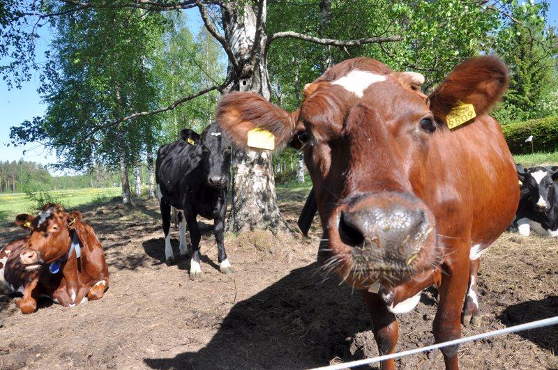 Naudalla on ihmistä herkempi ja laajempi kuuloalue, kertoo eläinten hyvinvoinnin tutkija.