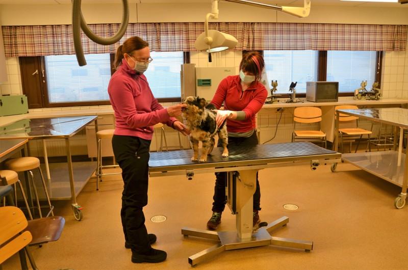 Remontin keskellä. Opettaja Piritta Pärssinen ja eläintenhoitaja Sarianna Seppälä tutkivat 11 viikon ikäistä Glittraa Kpedun eläinklinikan tiloissa. Koulutusyhtymä on palkkaamassa klinikalle oman eläinlääkärin, jonka työhön kuuluu myös opetusta.