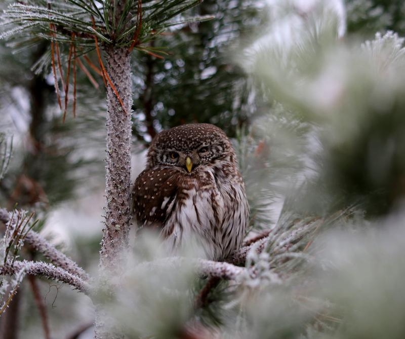 - Jos tarkasti katsoo varpuspöllön silmiin, niin huomaa, että sitä väsyttää. Kuvasin sen päivällä, kun se on aktiivinen aamu- ja iltahämärissä, Reijo Jussilainen kertoo teoksestaan: Varpuspöllö - Minua väsyttää.