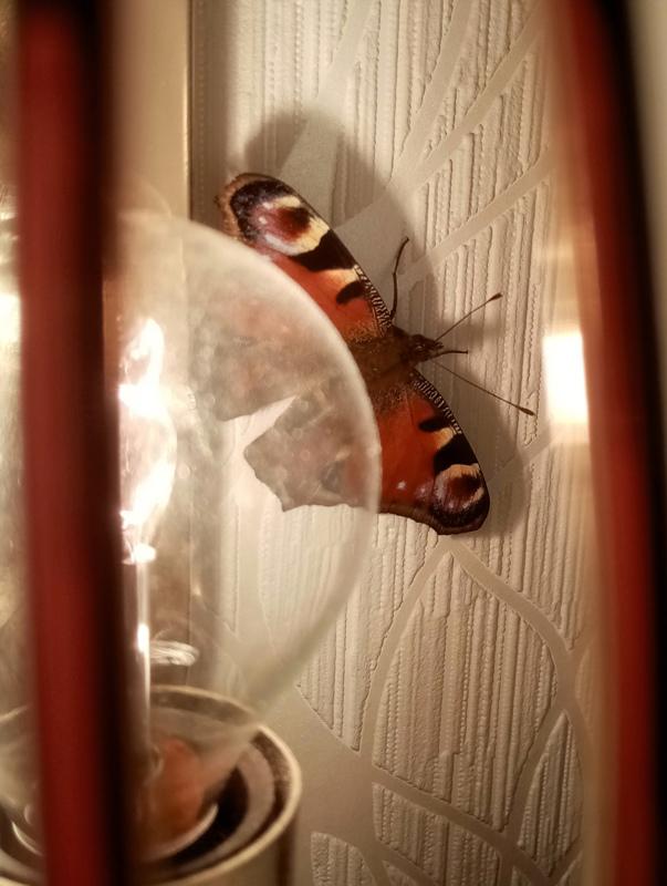 Helmikuun neitoperhonen etsii valoa ja lämpöä.