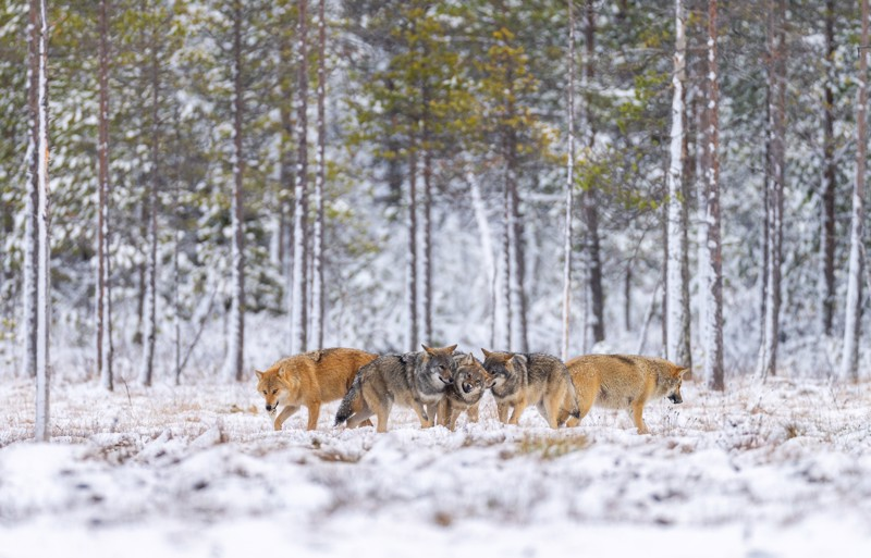 Luontokuvaaja Risto Raunion kuva Kuhmon susilaumasta viime vuoden ensilumien aikaan
