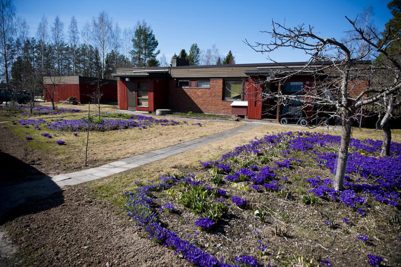 Eero Elovaaran etupihaa koristavat monet komeat krookukset, jotka loistavat jo hyvissä ajoin keväällä.