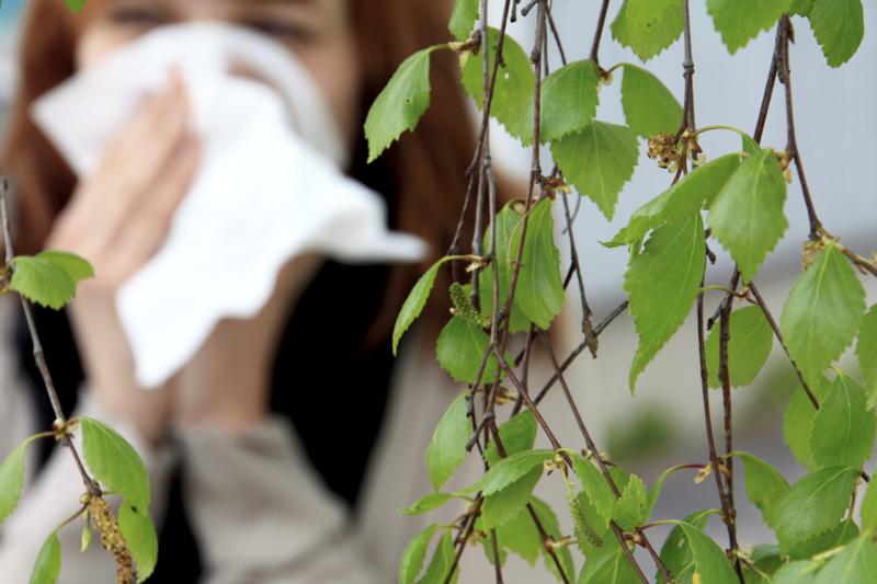 Koivun siitepöly aiheuttaa Suomessa eniten allergiaoireita.