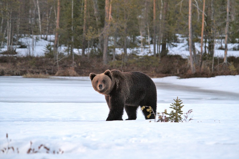 Karhut olivat kuvausviikon aikana erittäin arkoja.