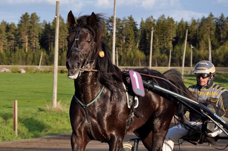 Veli-Erkki Paavola on ohjastanut Special Presentin kevään kilpailut, Kokkolassa Harri Puution valmentama ori palasi taas voittojen tielle.