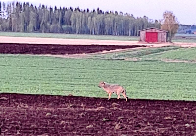 Nivalassa kohdattu susi kuvattuna traktorin lasin läpi.
