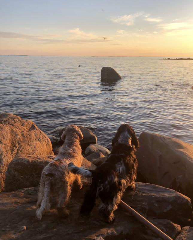 Cockeripojat ja lokin lento auringonlaskun aikaan.
