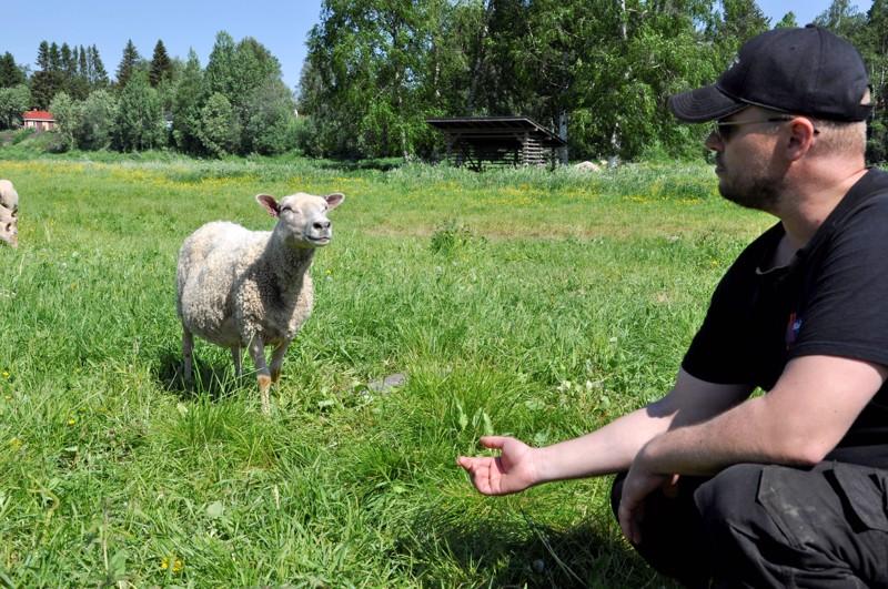 Lasse Heikkilä saa lampaat kutsumalla luokseen.