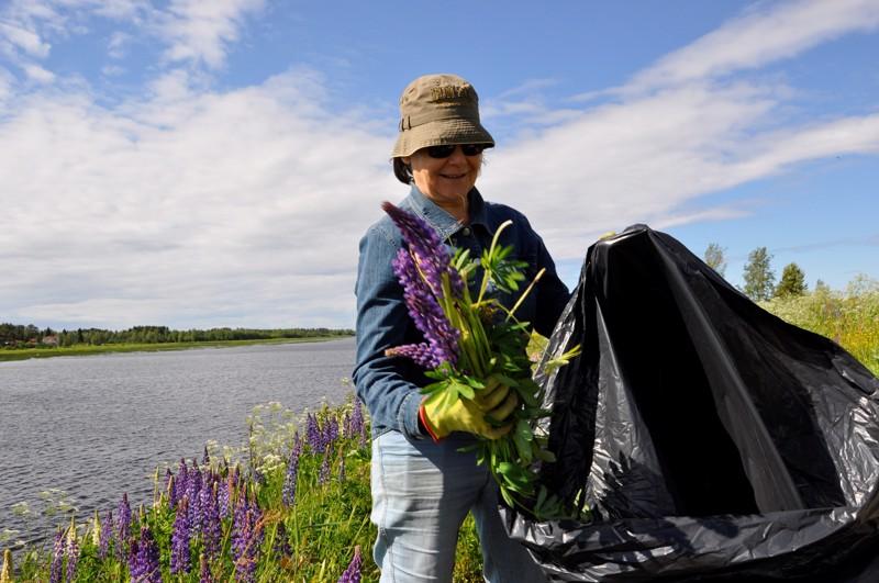 Riitta-Elina Kauppila laittaa lupiinit keräämisen jälkeen muovisäkkiin. Siten varmistetaan, etteivät haitallisen vieraslajin siemenet karkaa luontoon.