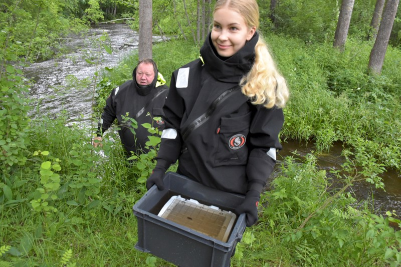 Veera Hauhian esittelemässä soralaatikossa on noni 70 raakunpoikasta, jota pian hänen ja Jari Vapolan toimesta sijoitetaan Ähtävänjoen pohjalle.