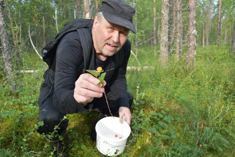 Seppo Kekäläinen poimi viime vuonna kaksi ämpärillistä hilloja. Tänä vuonna halla ja voimakkaat tuulet ovat verottaneet paikoin hillasatoa.