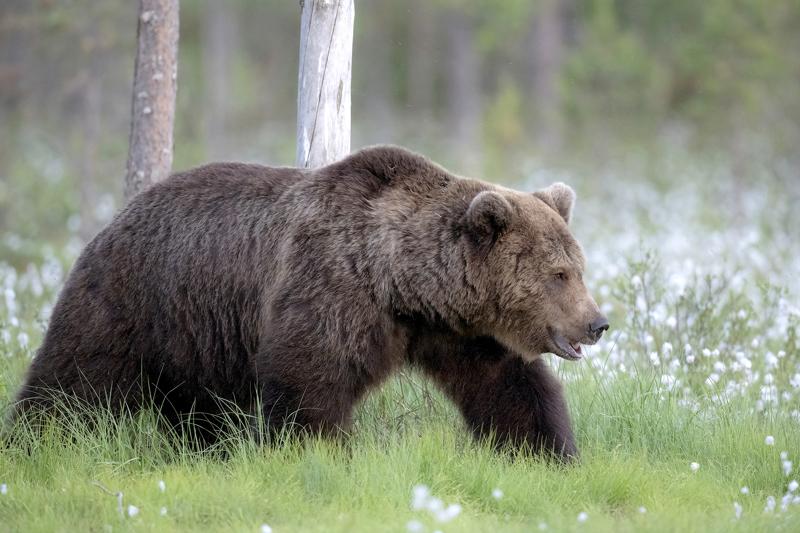 Keski-Pohjanmaalta saa kaataa poikkeusluvalla kolme karhua.