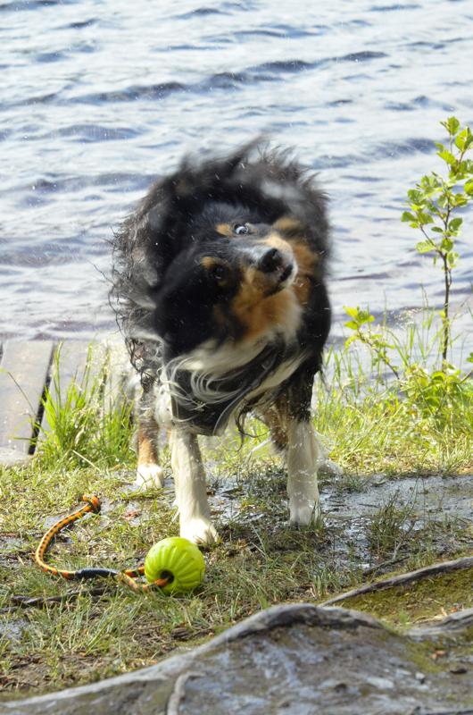Mielipidekirjoittaja hakisi lisää verotuloja jälleen koiraverosta koiranomistajilta. Tämä koira loikkasi tätä ihmettelemään kuvituskuvana eli ei liity Koirattomaan kulkijaan millään lailla.