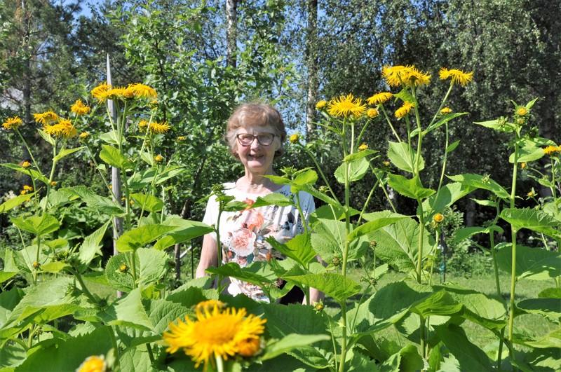 Irja Junttila halusi tulla kuvatuksi auringontähtien keskellä. Hän on saanut taimen aikanaan karjalaiselta ystävältään. – Auringontähdet houkuttelevat perhosia ja niitä on mukava seurata.